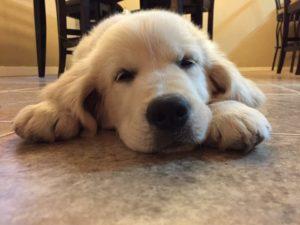 Golden Retriever temperament tested tired puppy