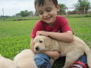 Available Golden Retriever puppies are raise with kids