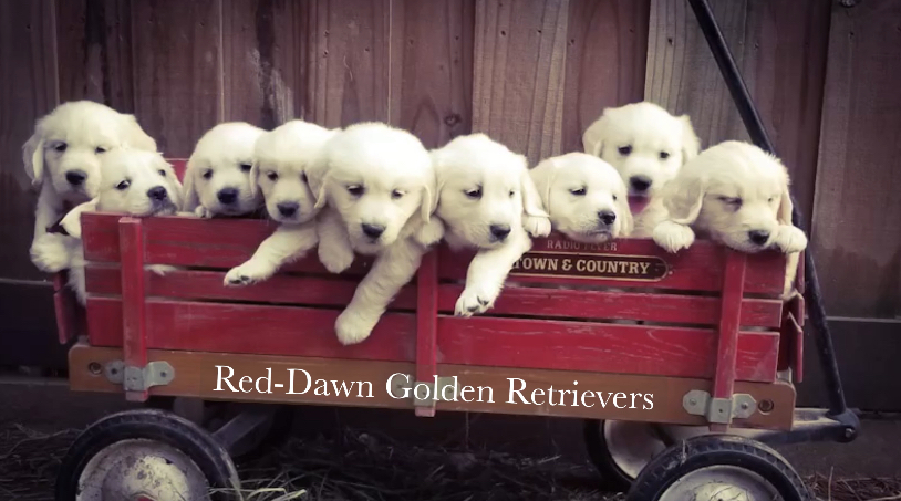 Available English Cream Puppies | Red-Dawn Golden Retrievers